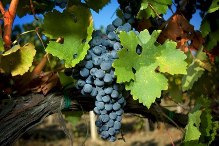 chianti grapes